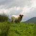 des moutons, toujours ...