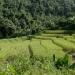Risiéres, environs de CHiang Maï