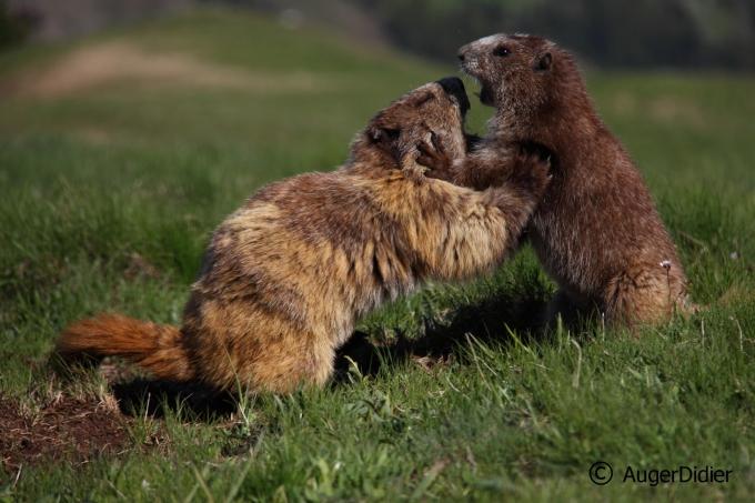 on se calme les marmottes-blog.JPG